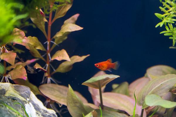 Süßwasseraquariumfisch